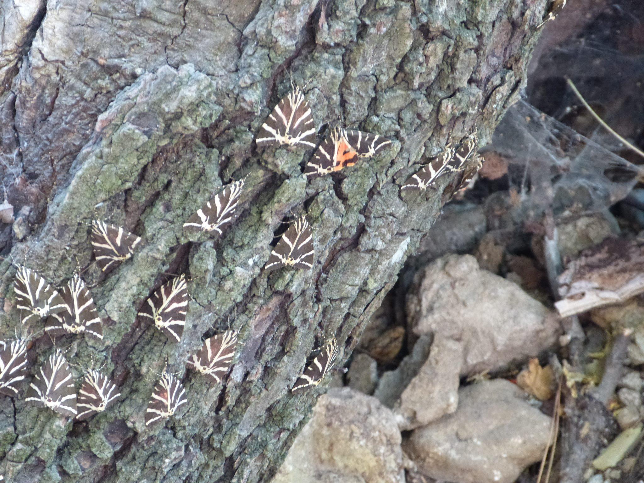 Pillangók völgye - ennél ezerszer több medvelepkét lehet megcsodálni a természetvédelmi parkban, de sajnos jól fotózni nem könnyű: általában szinte teljesen beborítják a (storax)fa kérgét, melynek vaníliaillatú gyantája vonzza őket ide.
