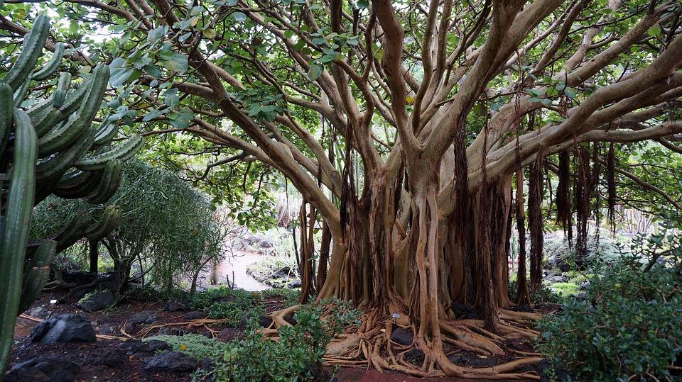 Kanári-szigetek növényvilág